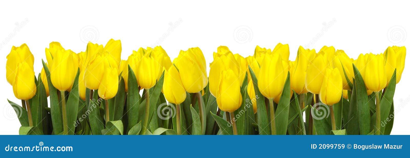 Ligne des tulipes jaunes