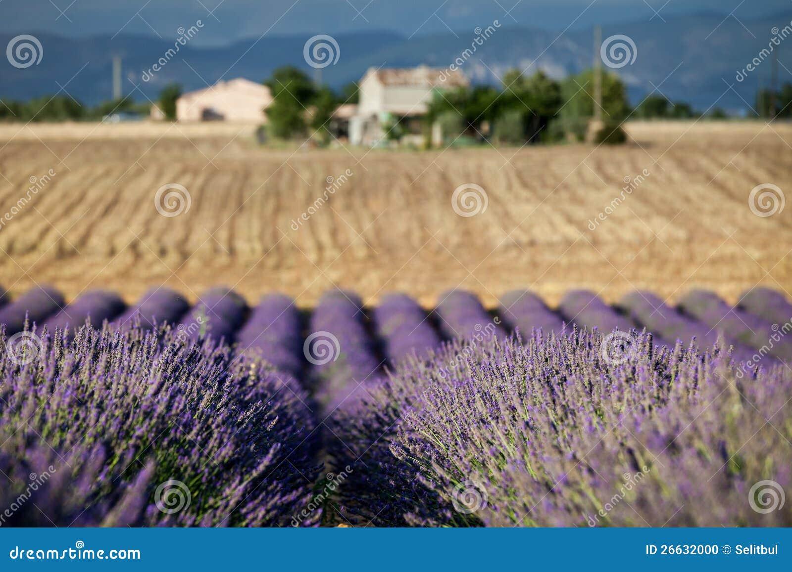 Lignes de floraison de lavande provence france photo stock image 26632000 - Floraison de la lavande ...