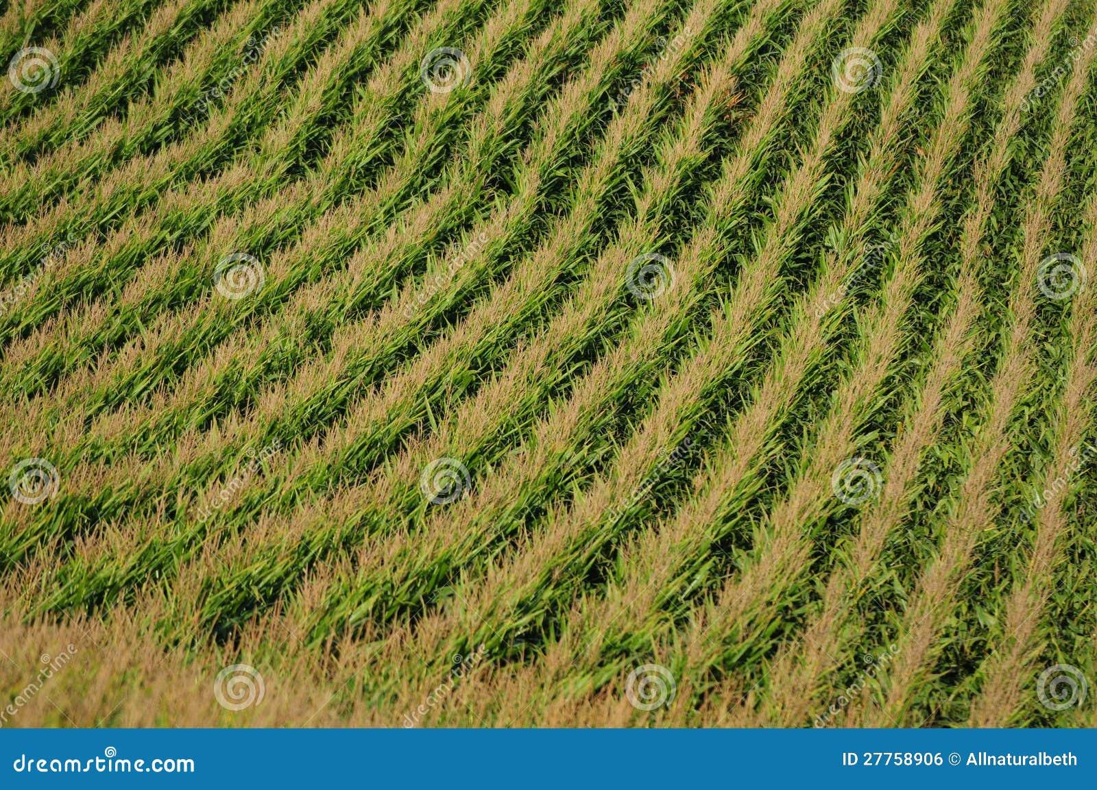 Lignes de maïs à une ferme pour la moisson