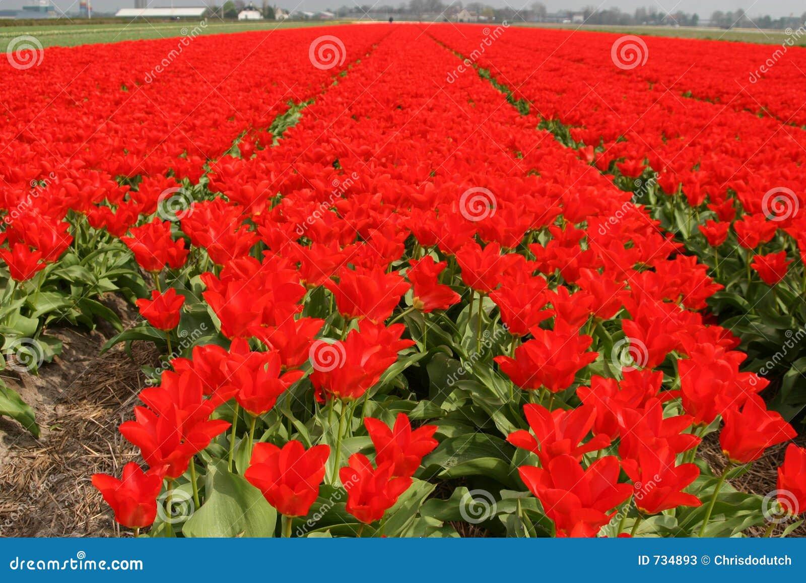 Lignes des tulipes rouges