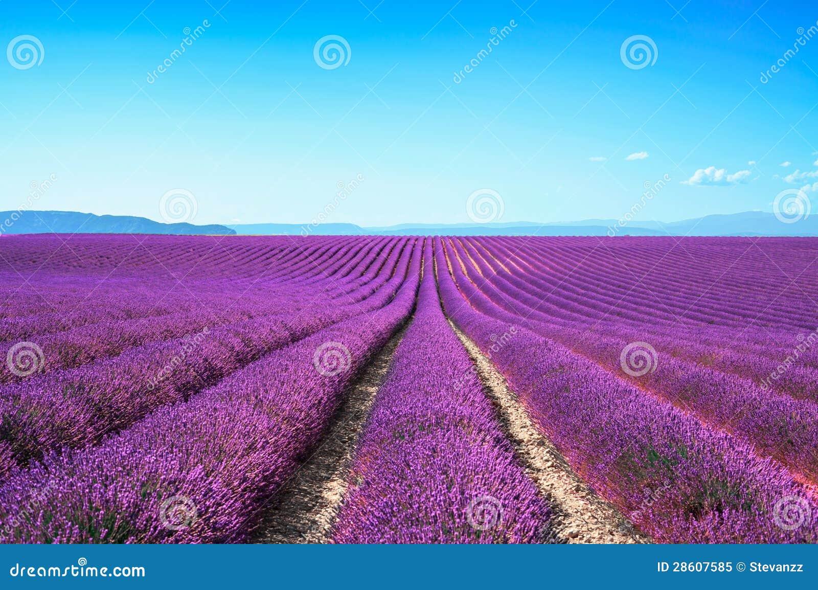 Lignes sans fin de floraison de gisements de fleur de lavande valensole provence photo libre de - Floraison de la lavande ...