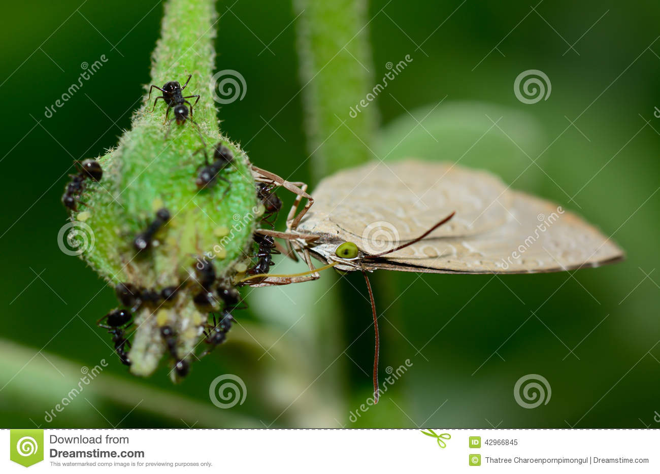 Ligth brown butterfly hanging and sucking eggplant with a blac