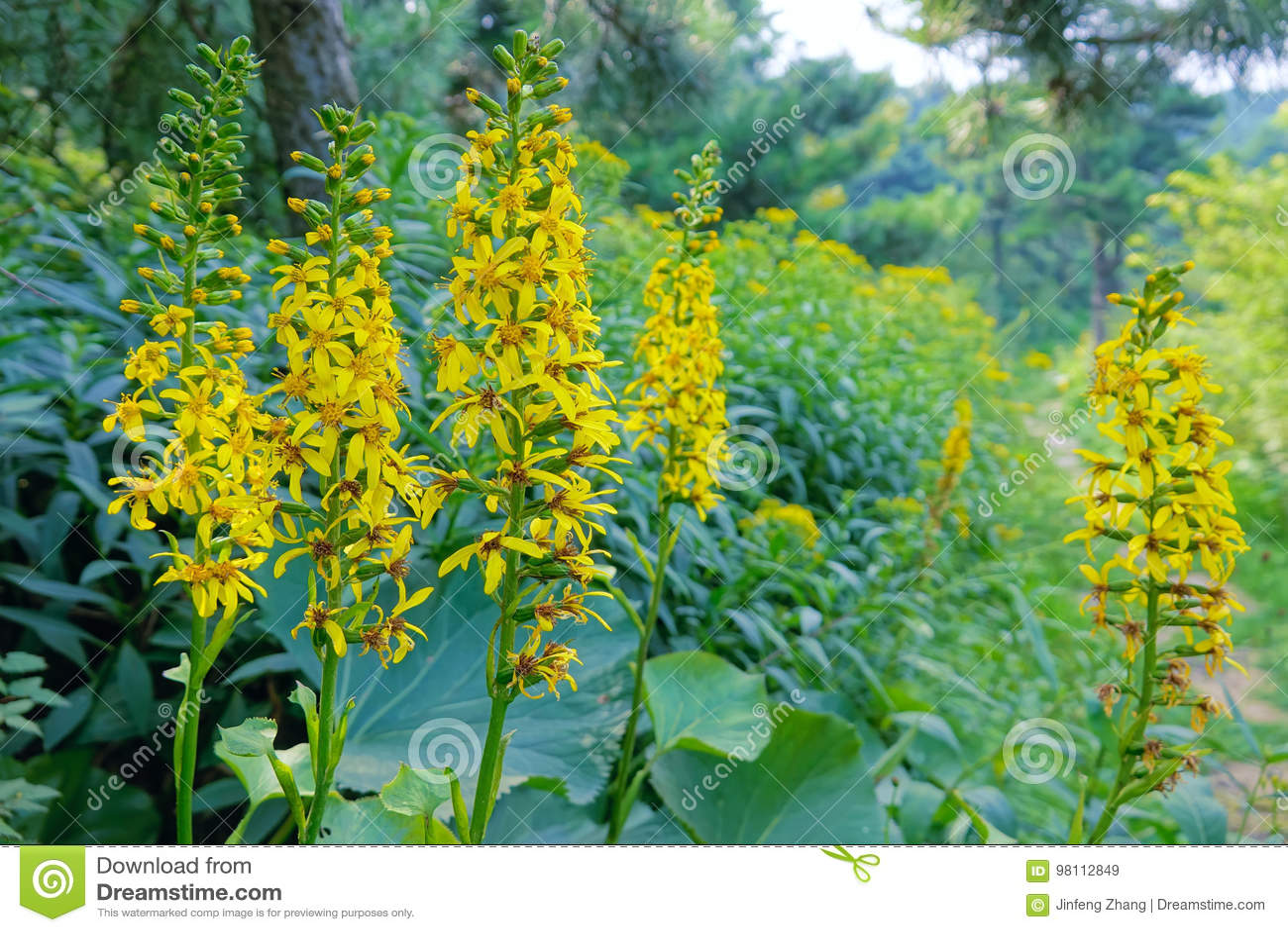 Ligularia flowers