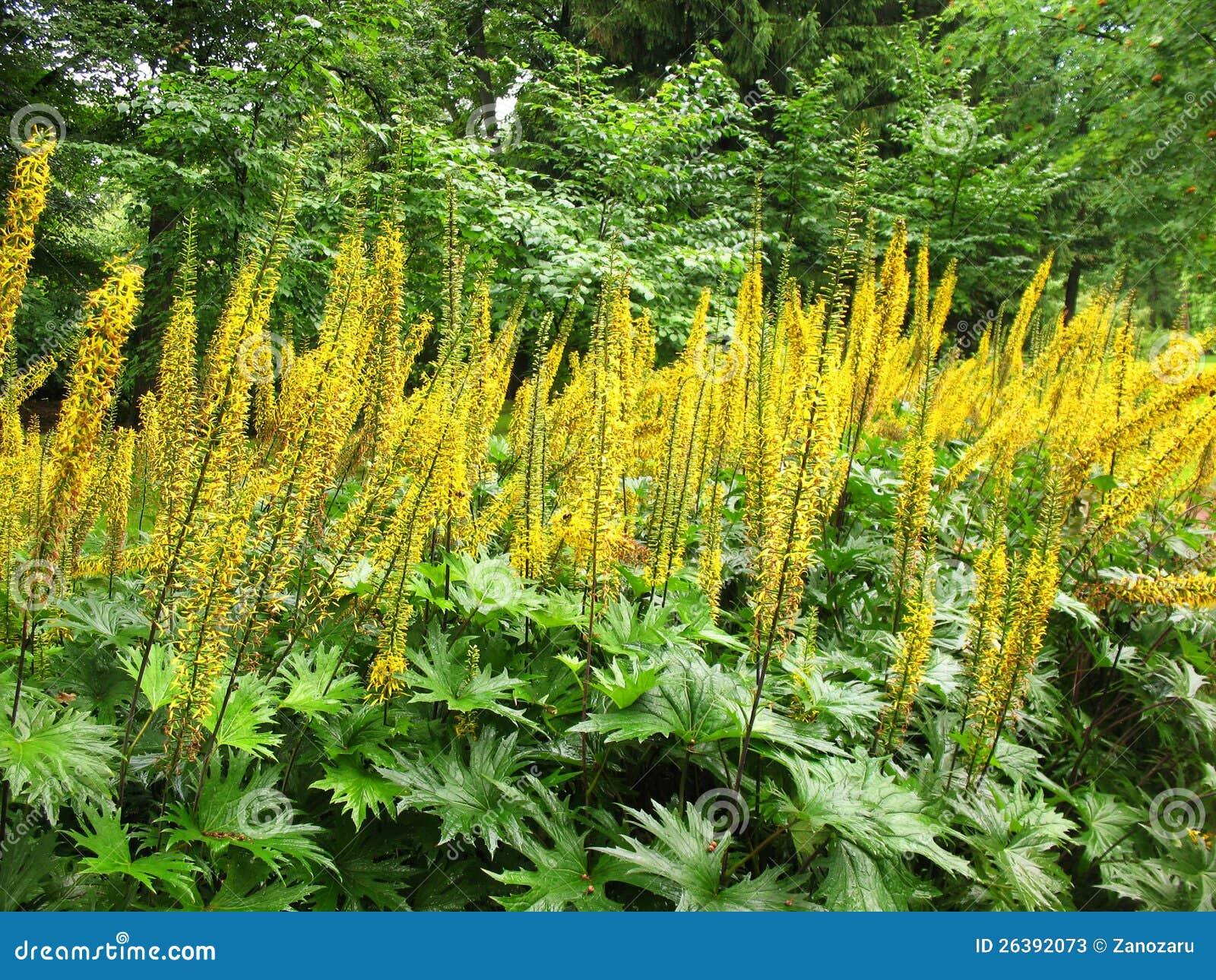 Ligularia Przewalskii Stock Photos Image 26392073
