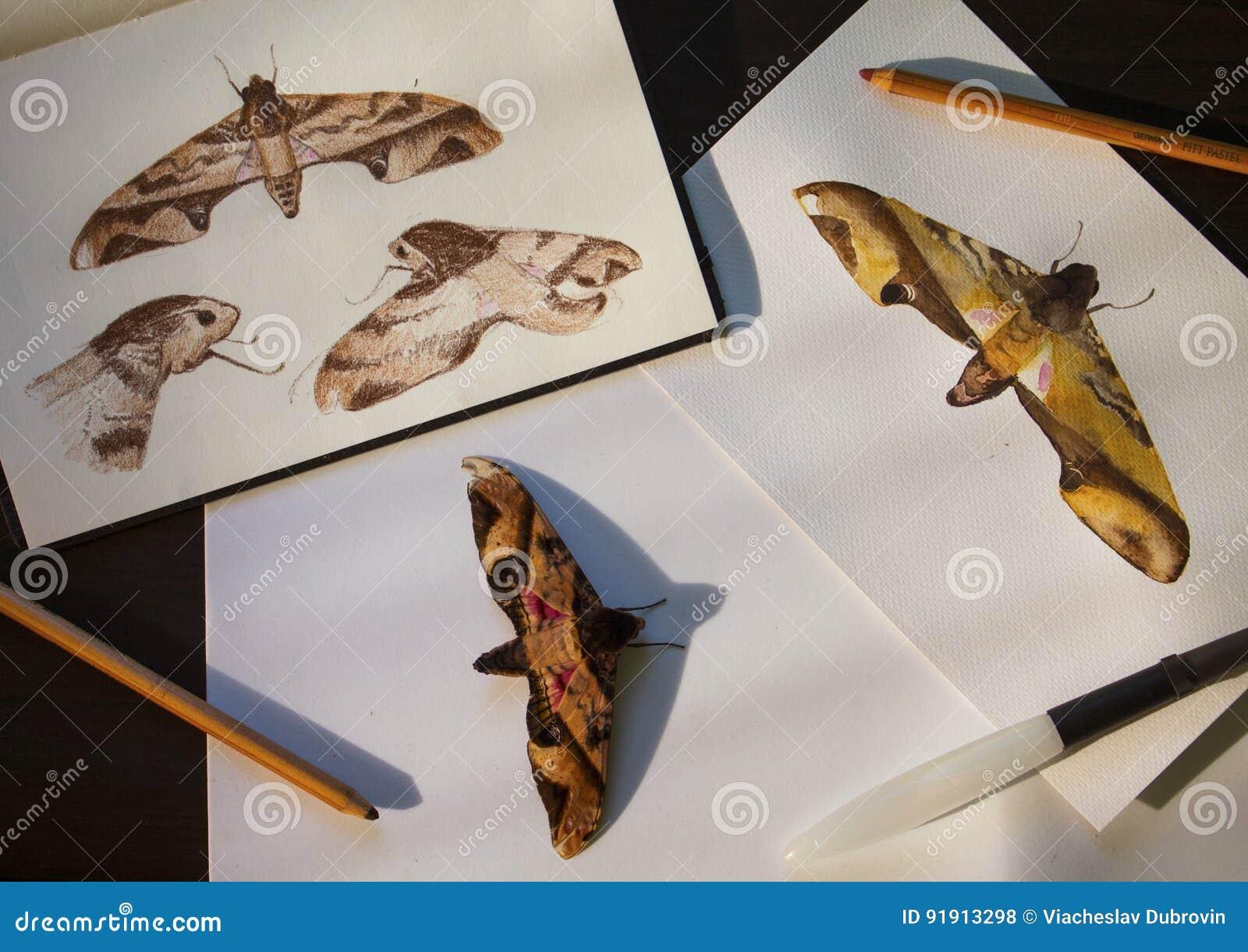 Ligusterhökmal och hand-drog illustrationer Den tropiska fjärilen och teckningar sänker det lekmanna- fotoet på tabellen