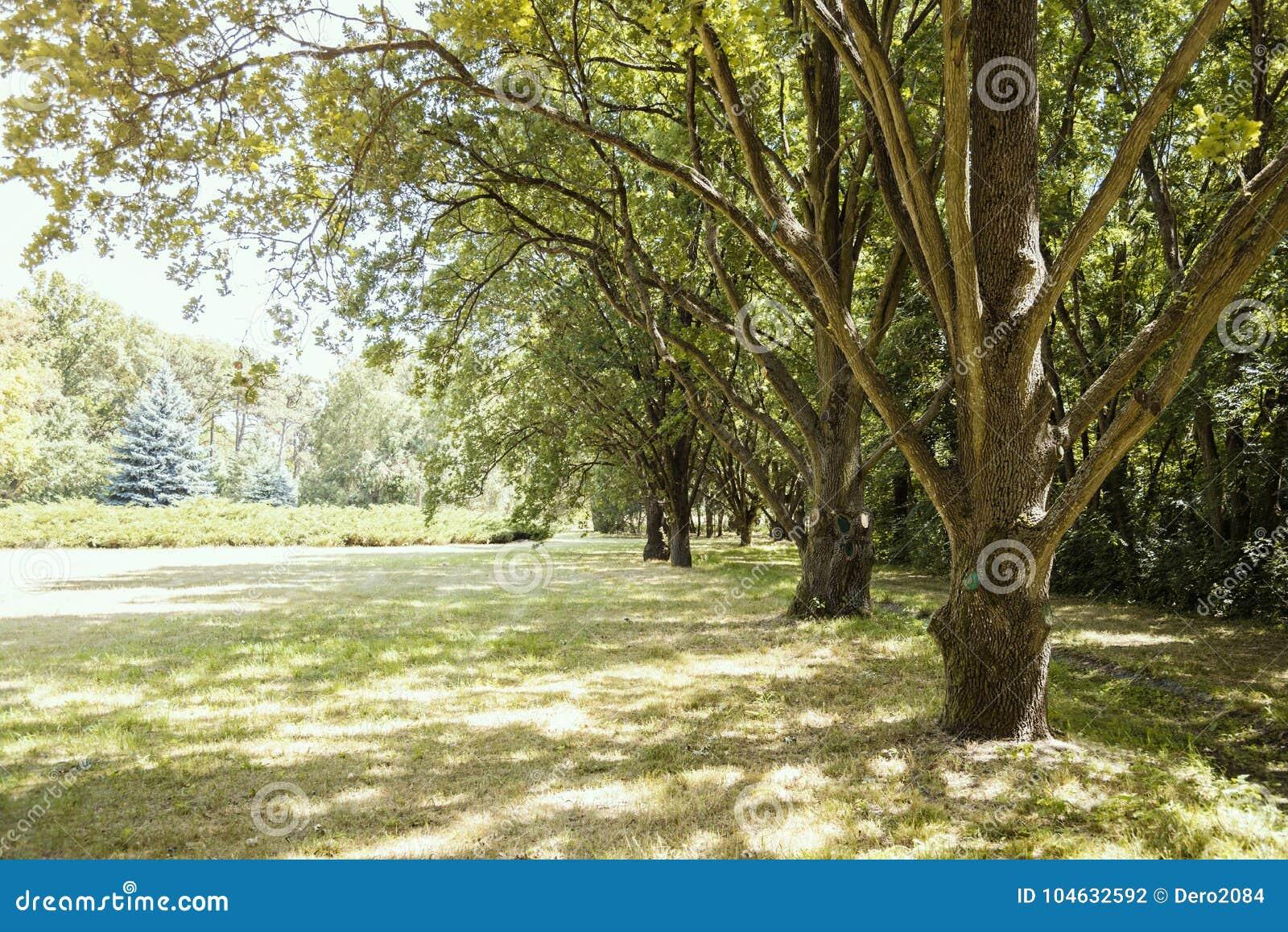 Download Lijn Van Eiken, Dendrological-Park Van De Nationale Reserve Askania-Nova, De Oekraïne Stock Foto - Afbeelding bestaande uit plaatsen, naughty: 104632592