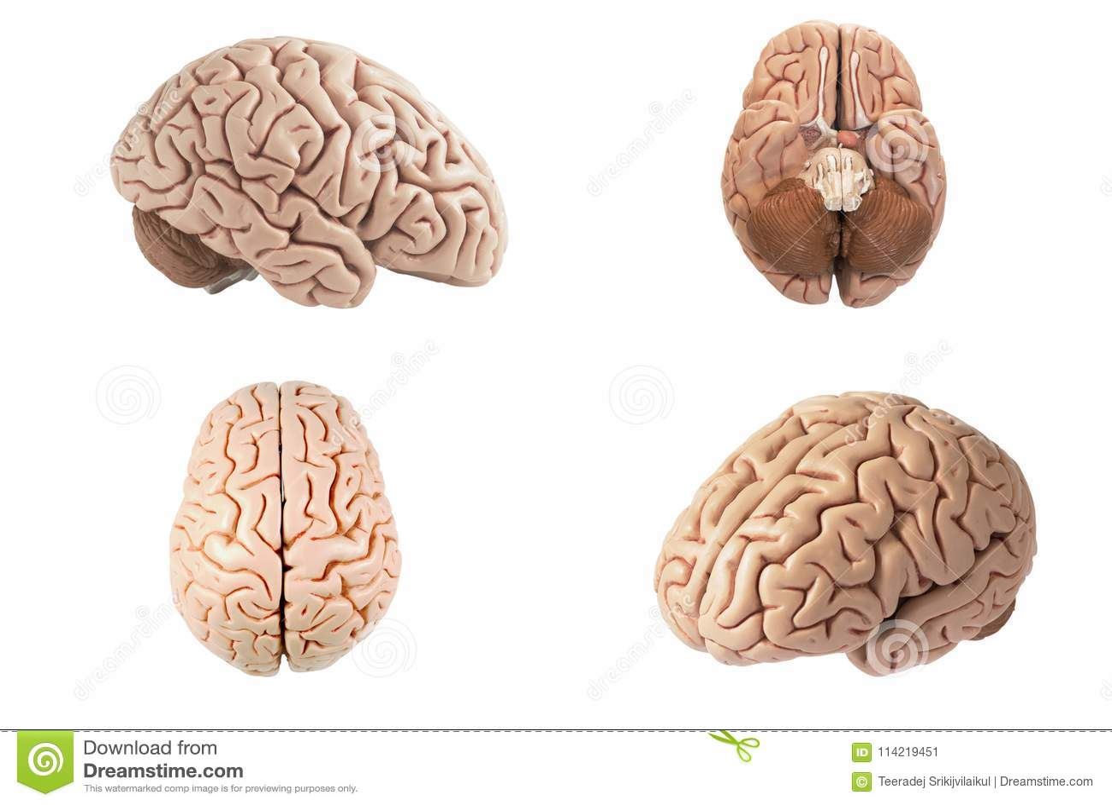 Likgiltig sikt för konstgjord modell för mänsklig hjärna