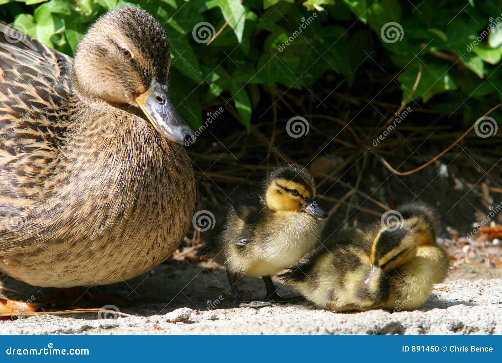 Lil kaczki