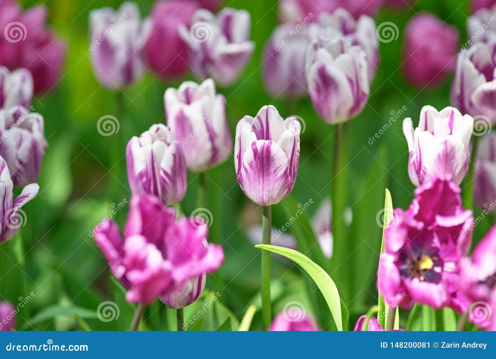 Lil?s em um dia ensolarado em um fundo verde Rems da variedade da tulipa favoritos