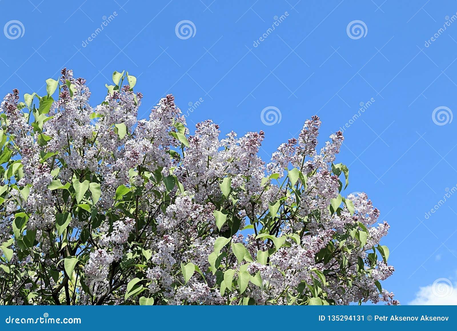Lila amistosa, hermosa y alegre de la primavera que se esfuerza por un futuro más brillante