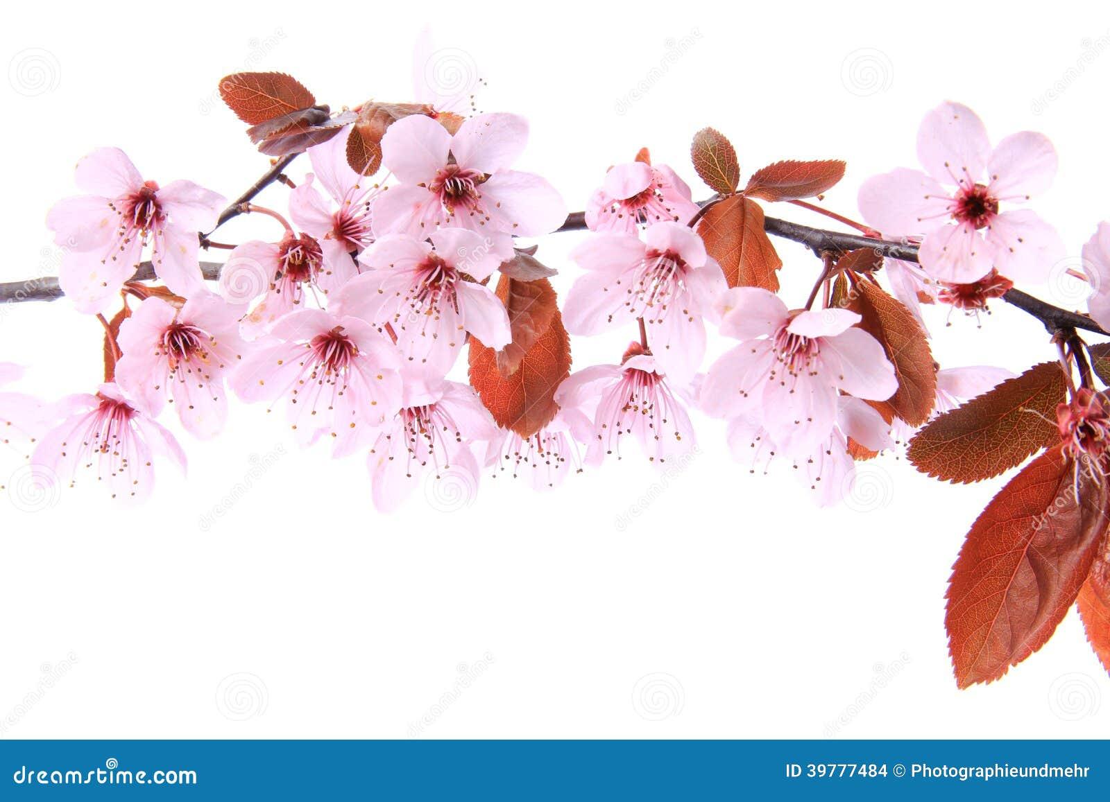 Lila-blad plommon (Prunuscerasiferaen)