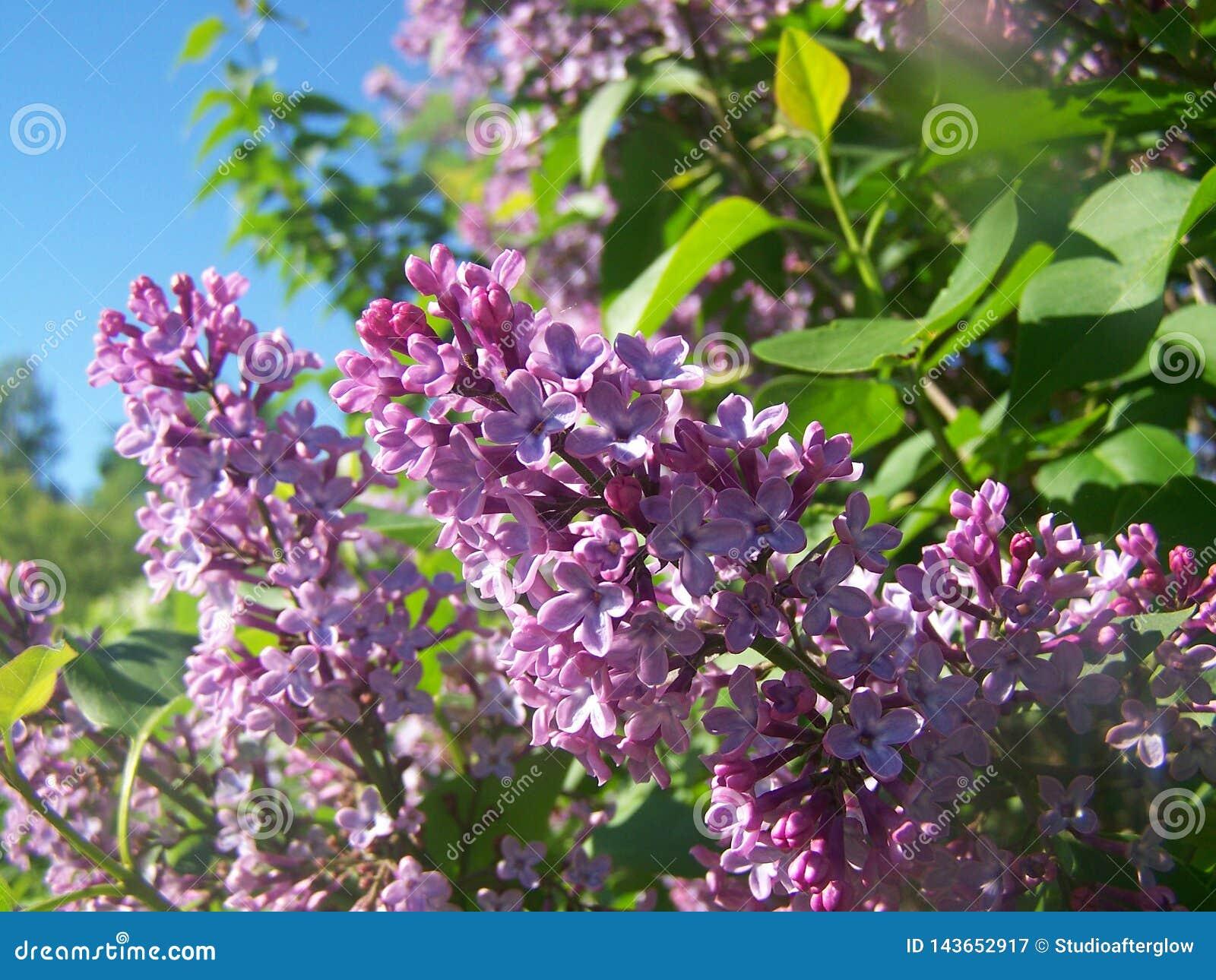 Lila blommor p? solig dag