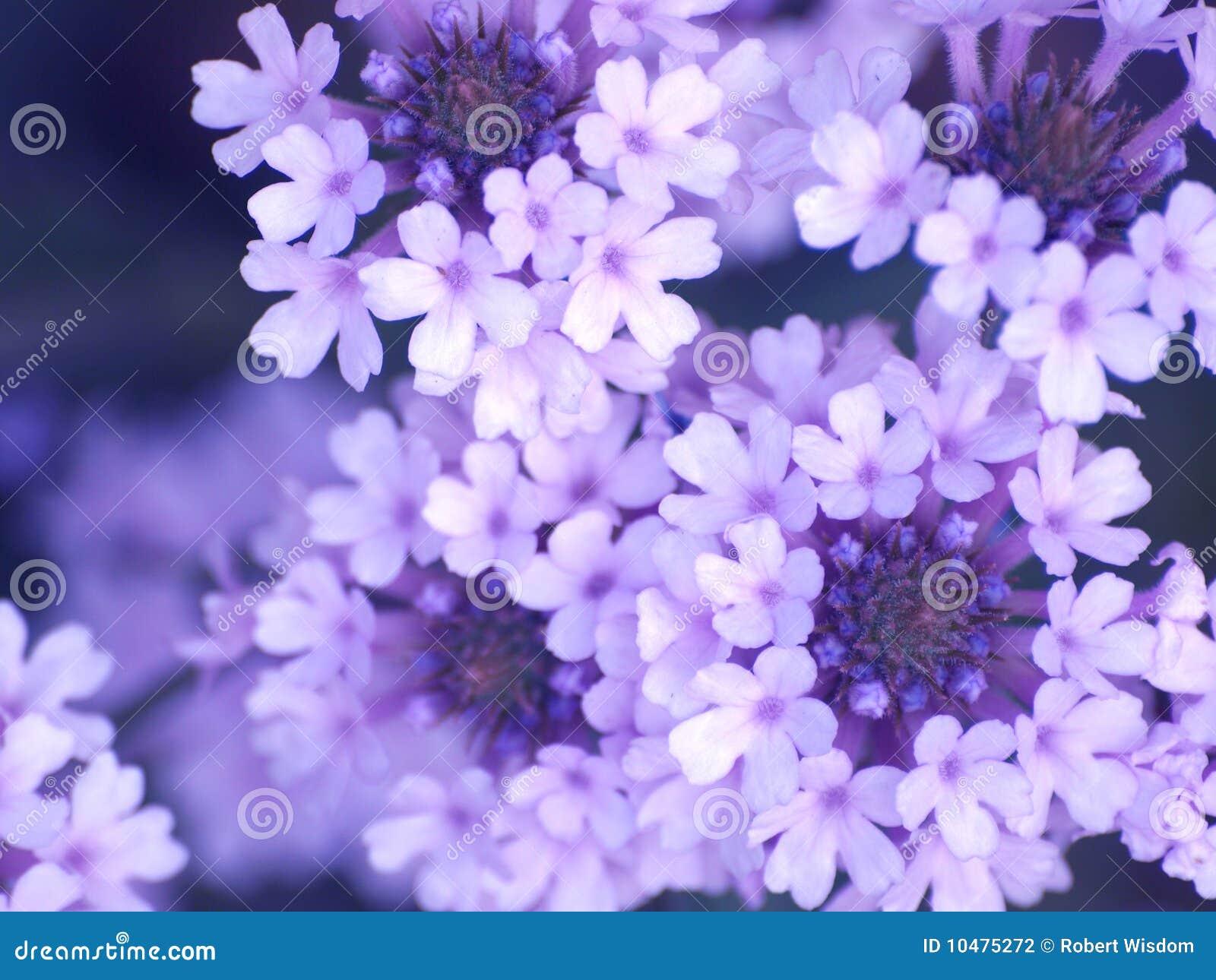 Lila blumen im blütenabschluß oben