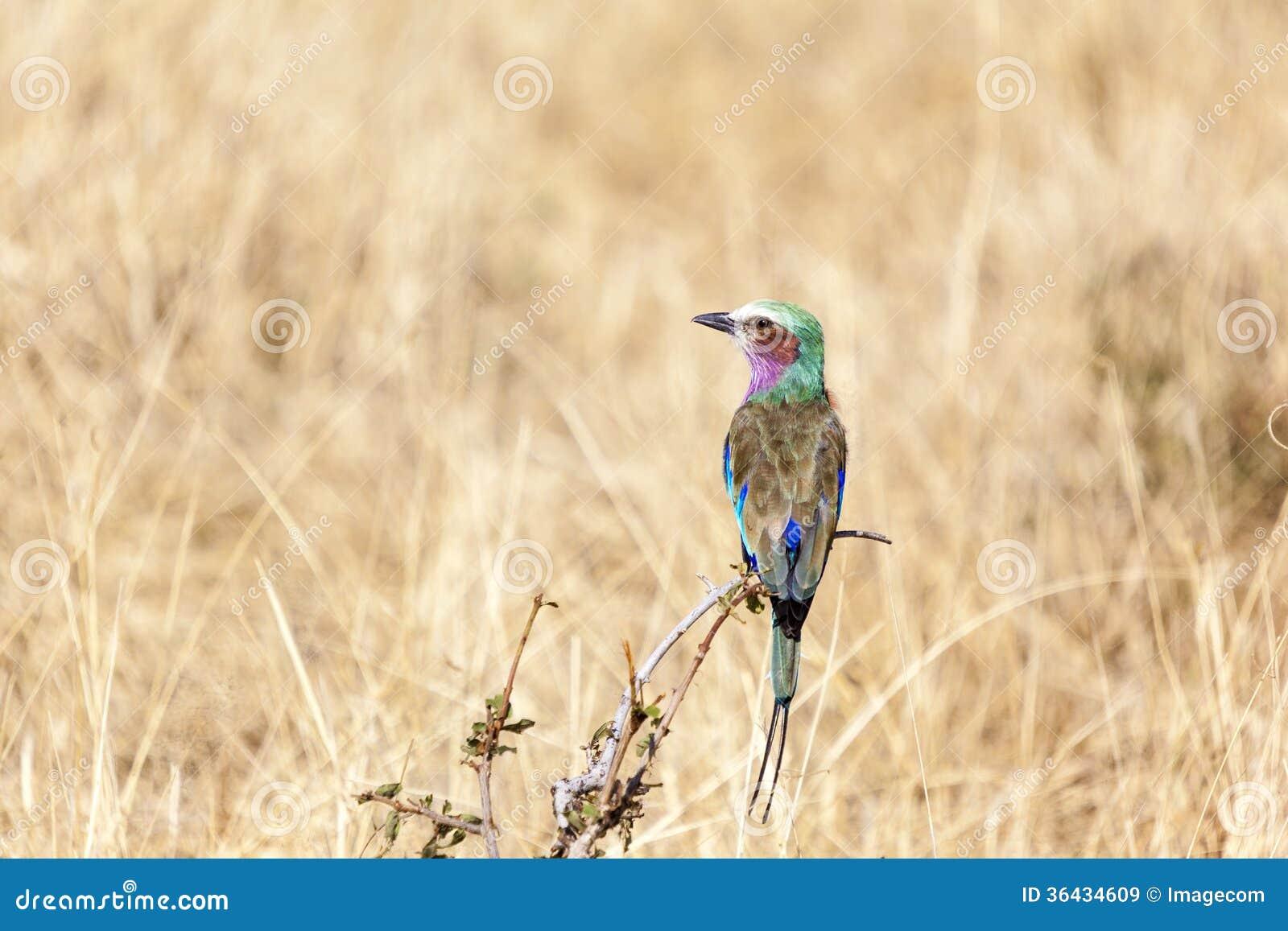 sekretär vogel tansania ~ lila breastedrollenvogel in tansania lizenzfreie