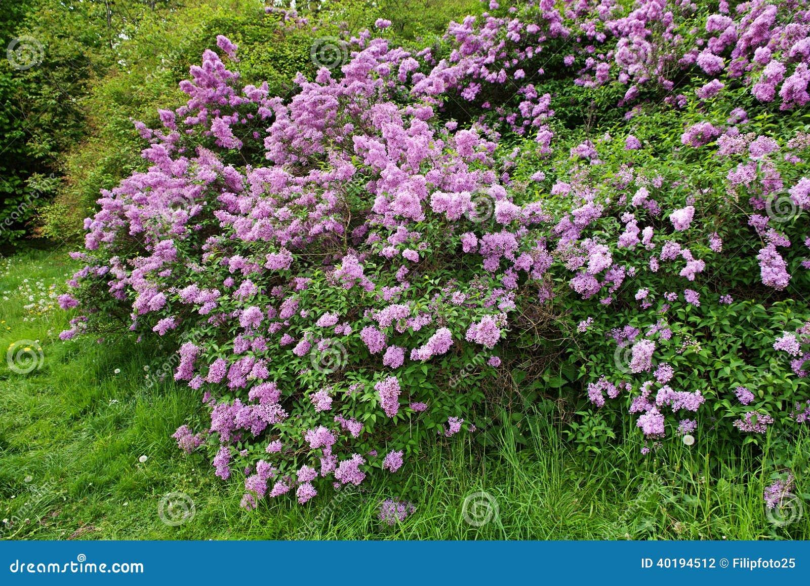 Lila buske