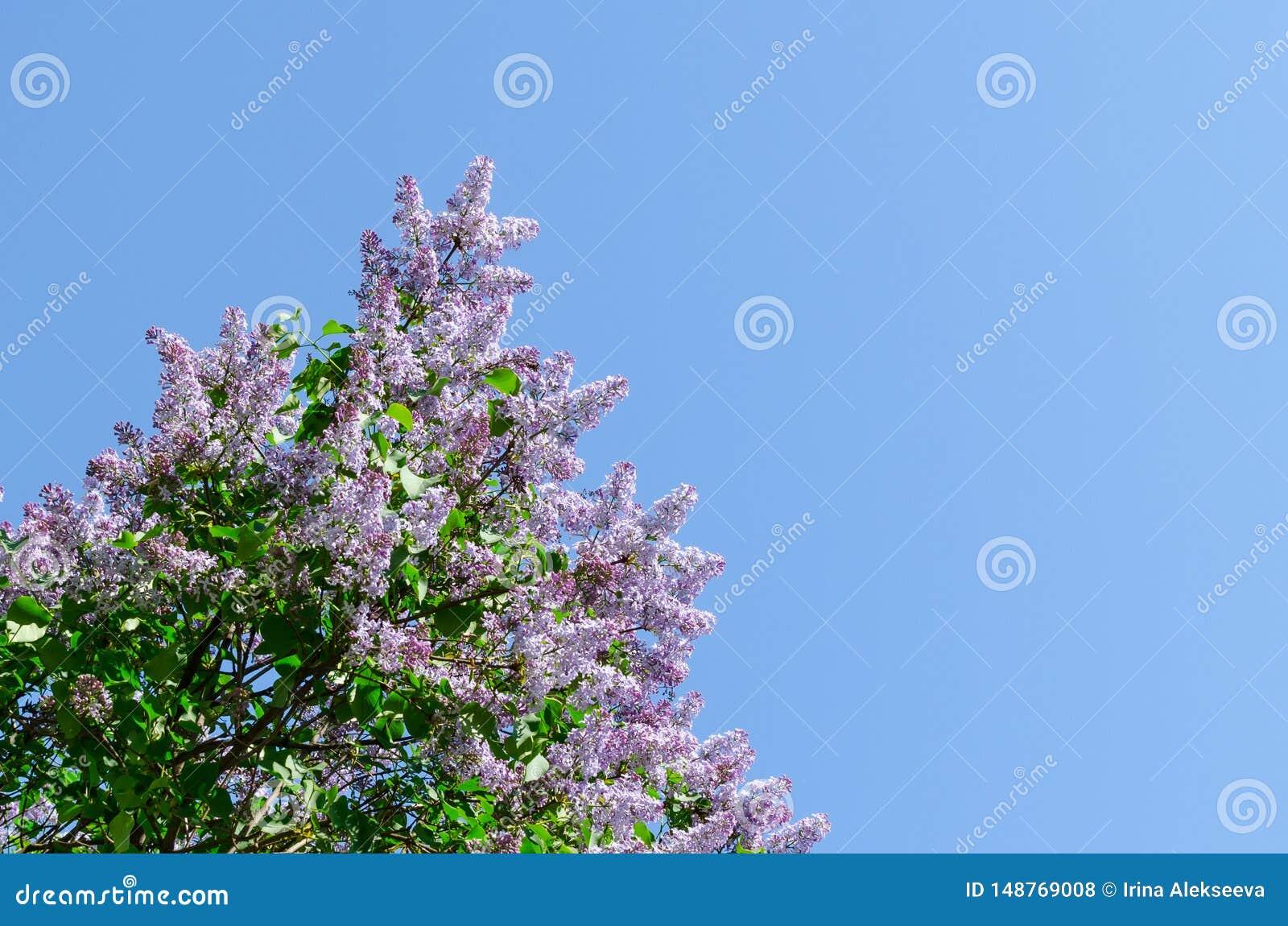 Lila floreciente contra el cielo azul El despertar de la naturaleza Concepto del resorte Copie el espacio