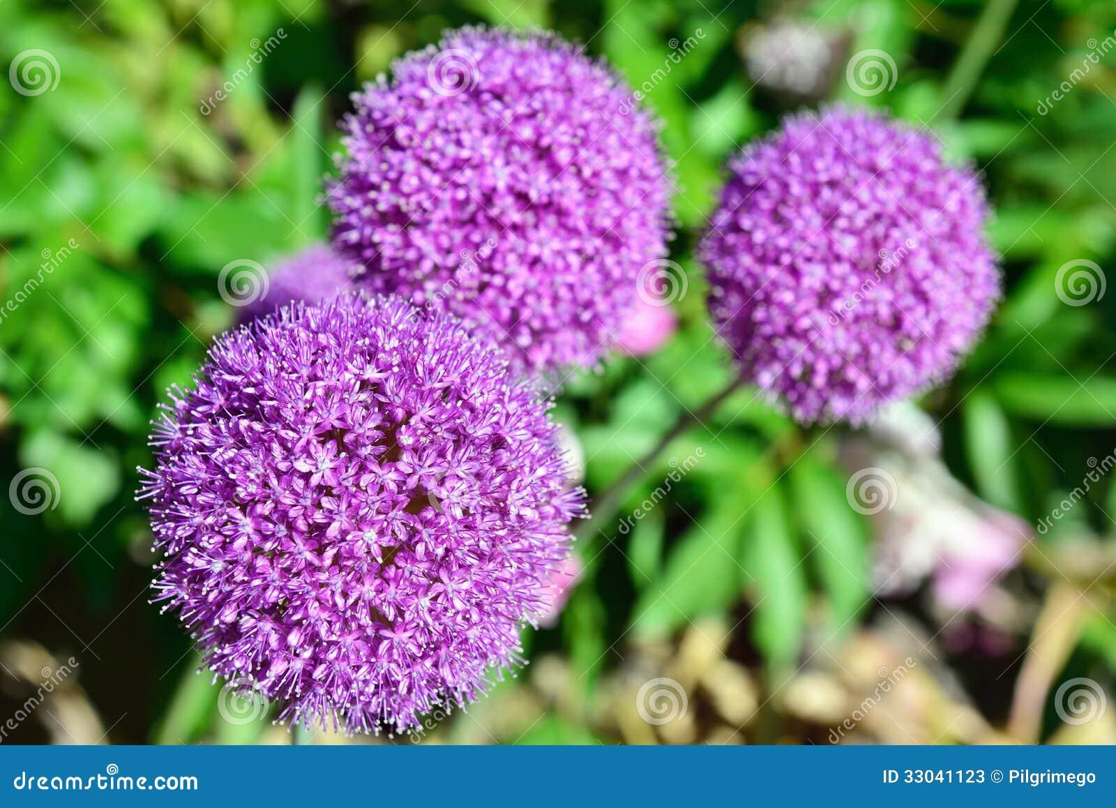 lila gartenblume stockbild bild von wiese sch n wachstum 33041123. Black Bedroom Furniture Sets. Home Design Ideas