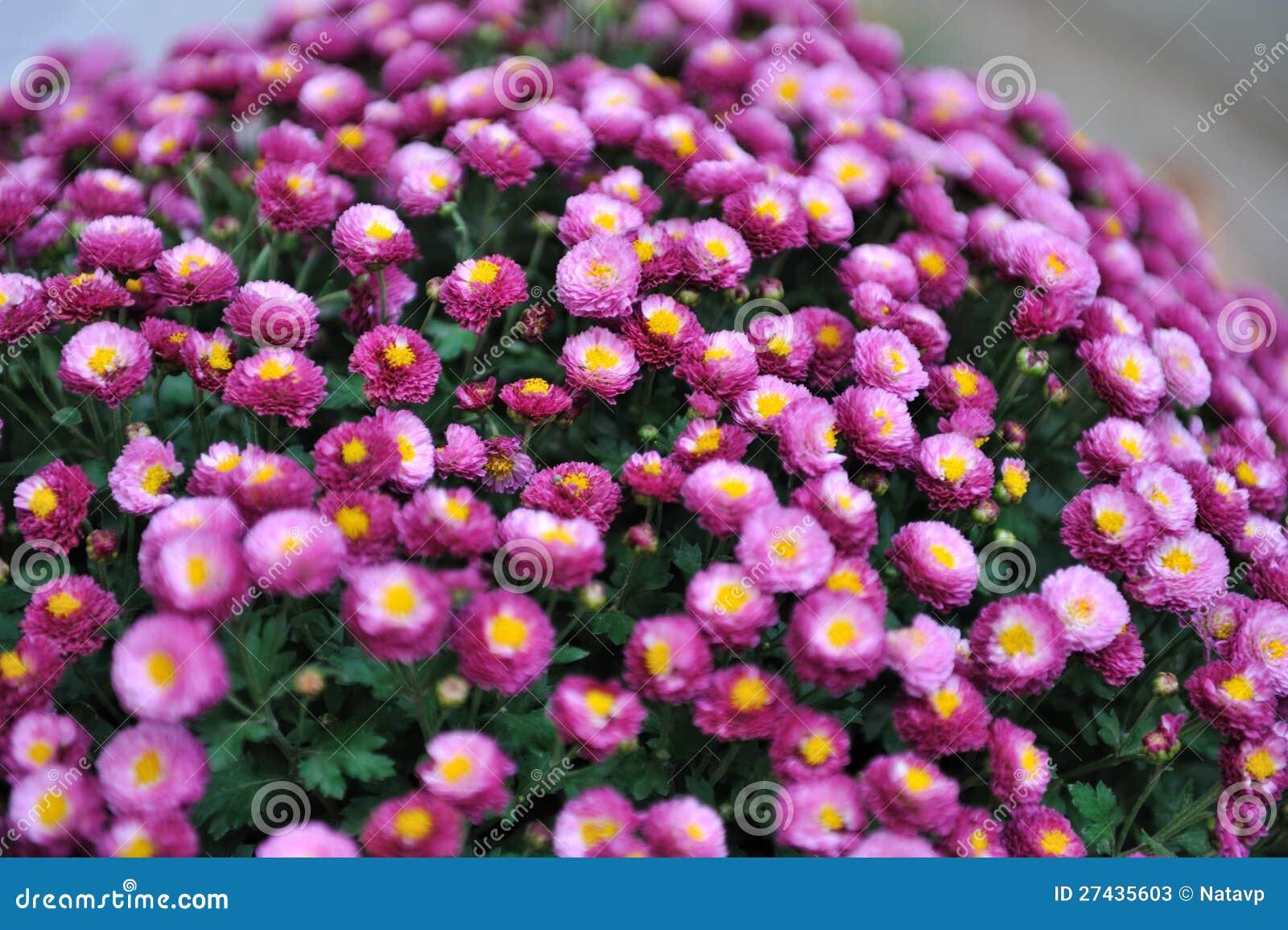 lila herbstblumen stockbild bild von direkt herbst 27435603. Black Bedroom Furniture Sets. Home Design Ideas