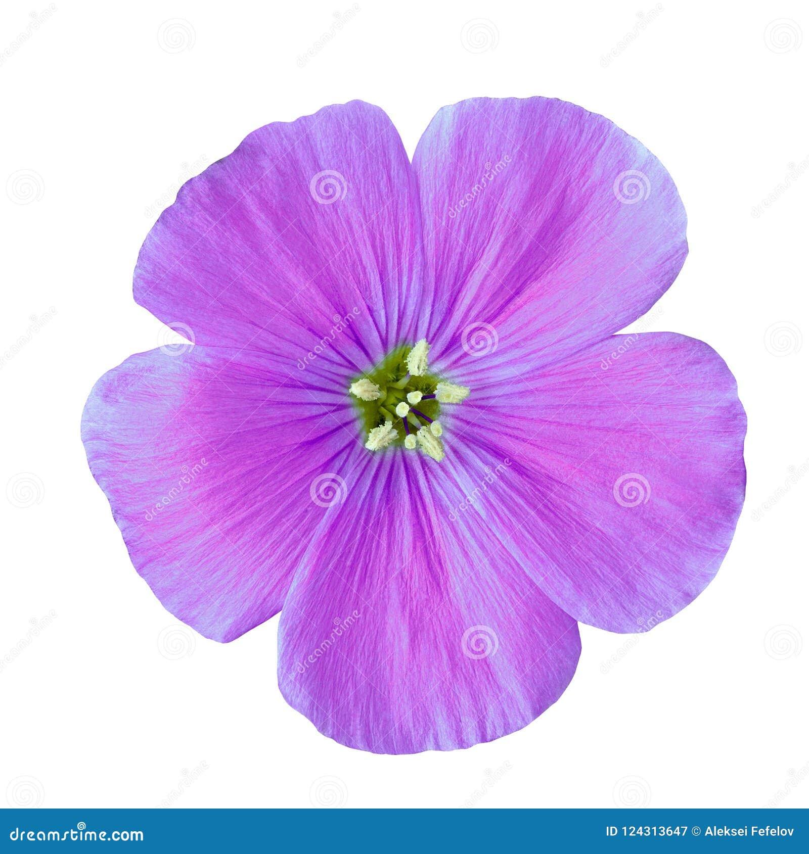 Lila lin för blomma som isoleras på vit bakgrund knoppcloseblomma upp element för klockajuldesign