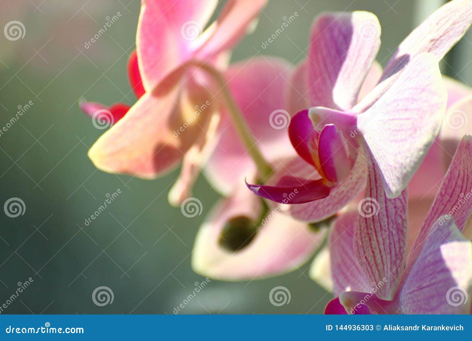 Lila orkidé på solig dag på en grön bakgrund hem- växter i en vas på fönstret omsorg om rumfärgerna av huset
