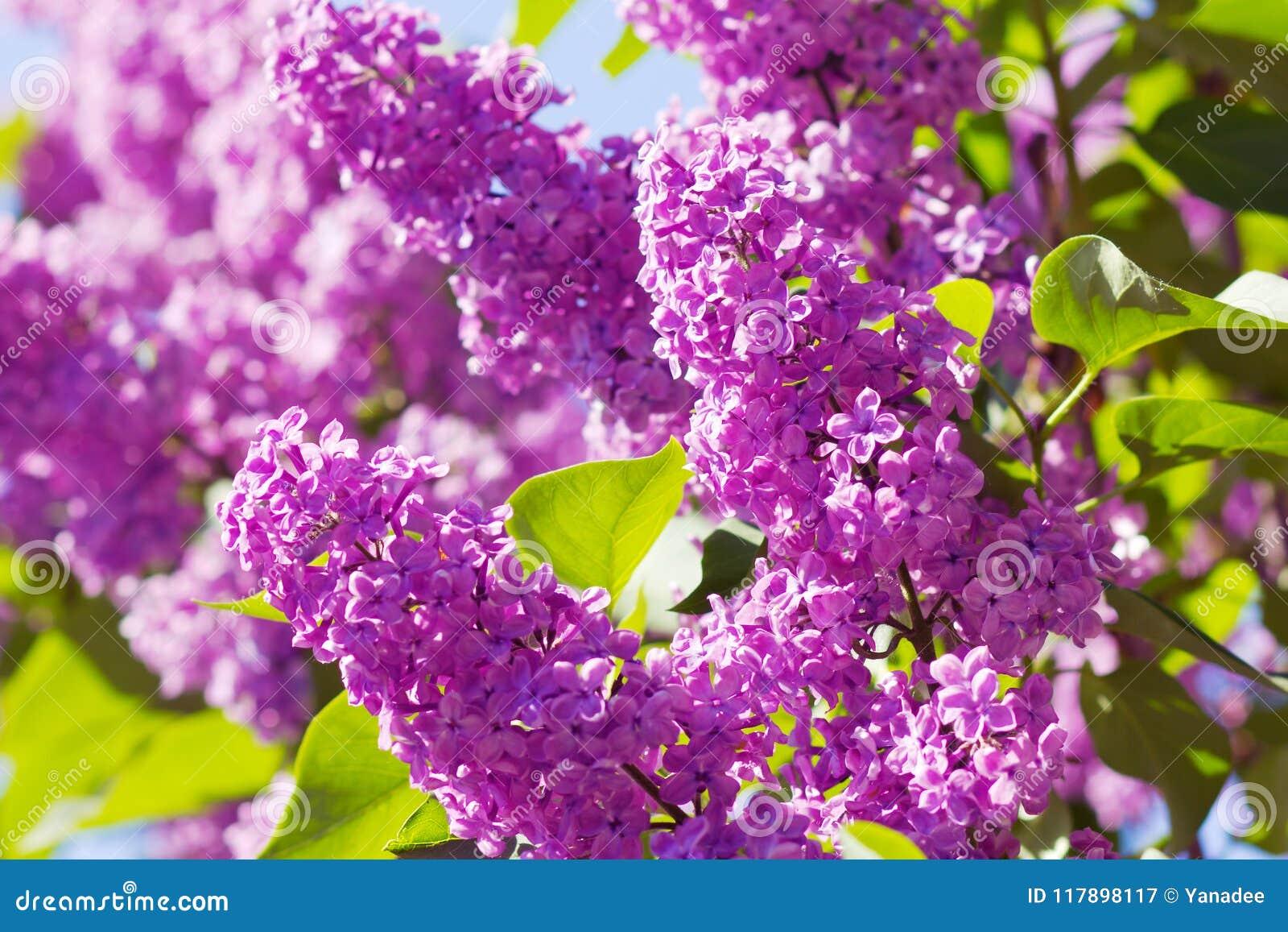 Lila purple för buske