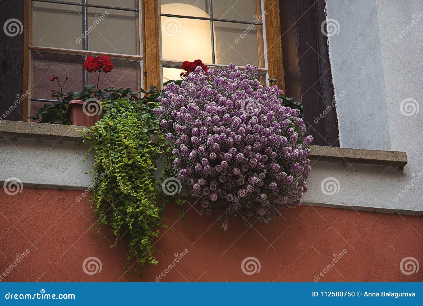 Lila, rosa ljung, röda pelargonblommor och gröna ormbunkesidor