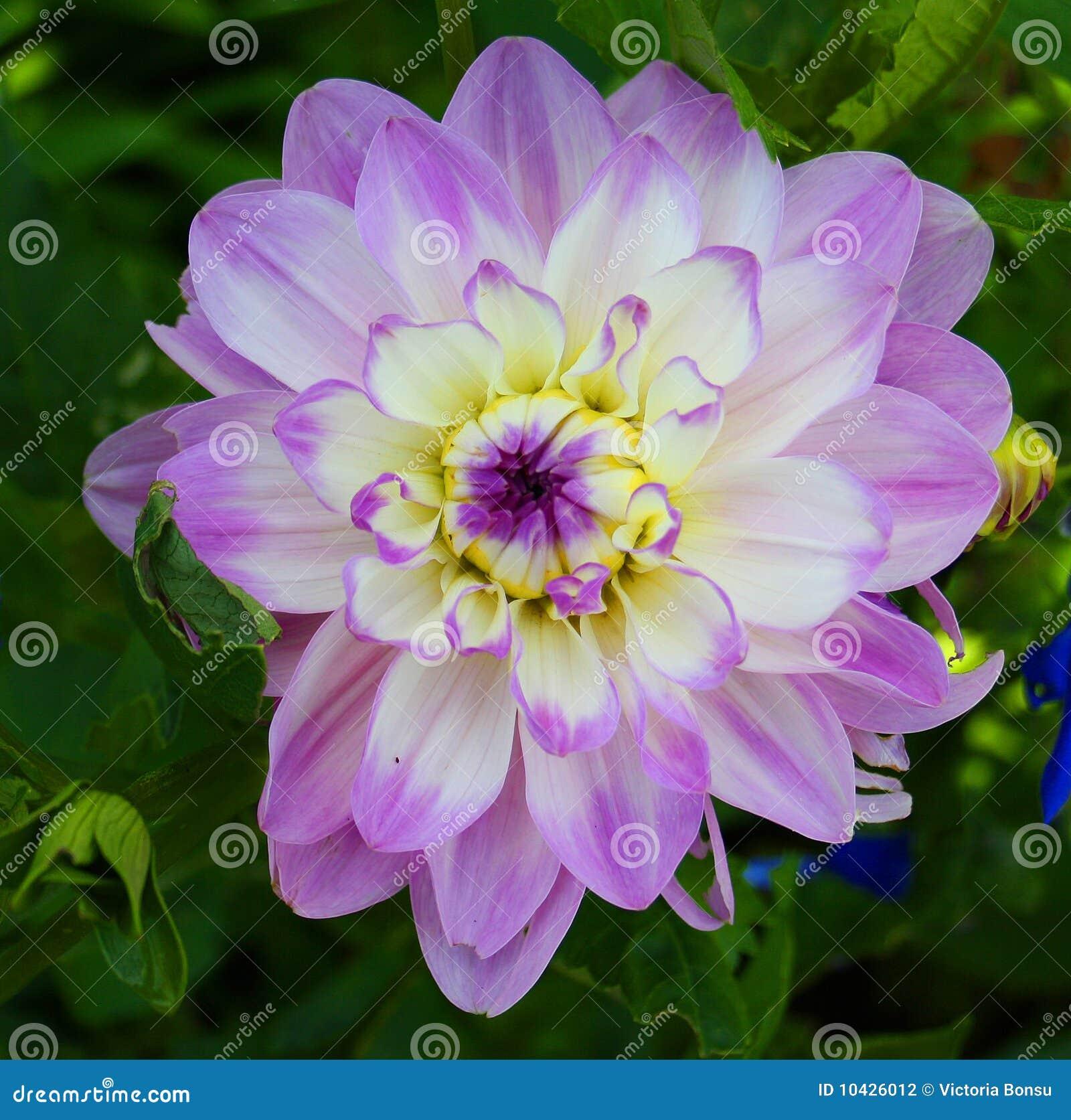 Lila y flores blancas