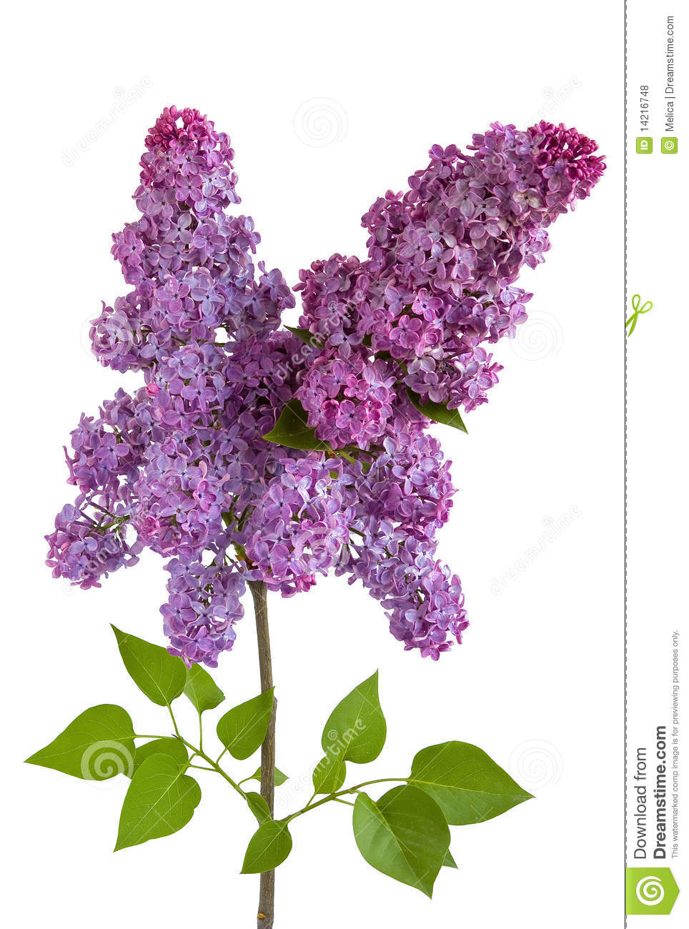Red flowers border vector stock image - Lilac Royalty Free Stock Photos Image 14216748