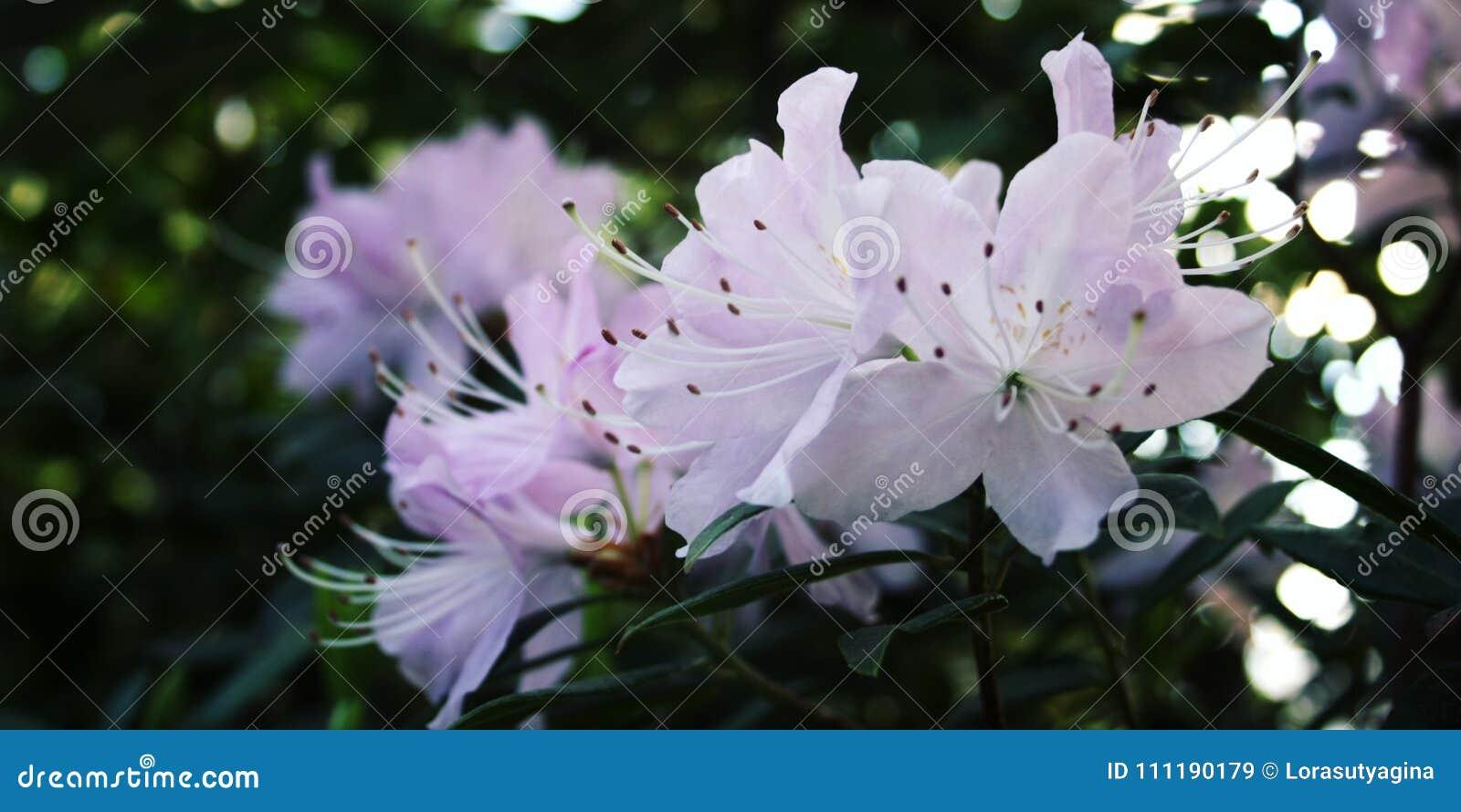 Lilac Azalia Flowers Bloom In Spring Season Stock Image Image Of