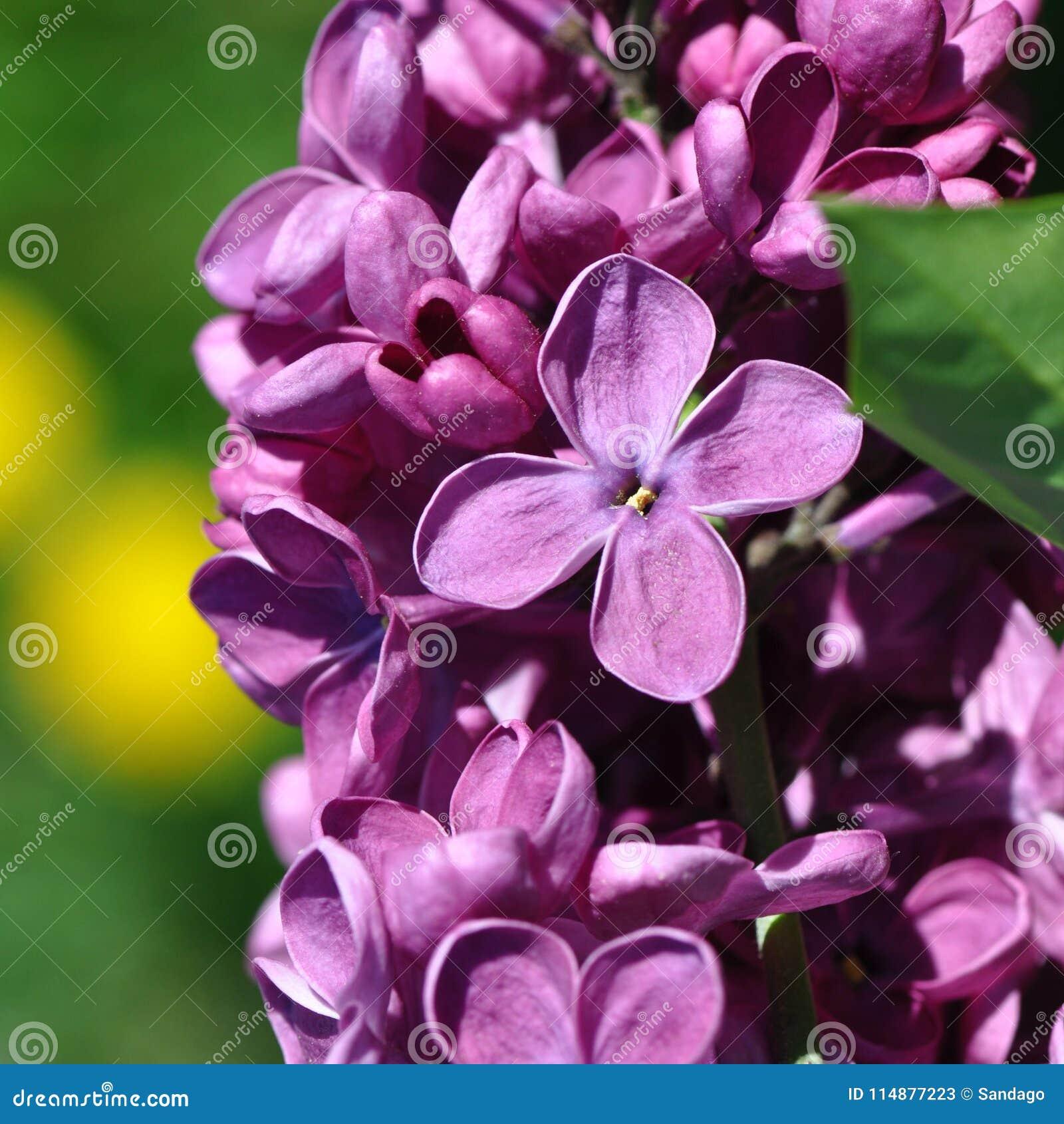Lilac bloem
