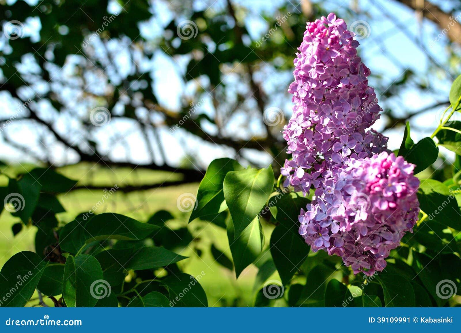 Lilac bloemen