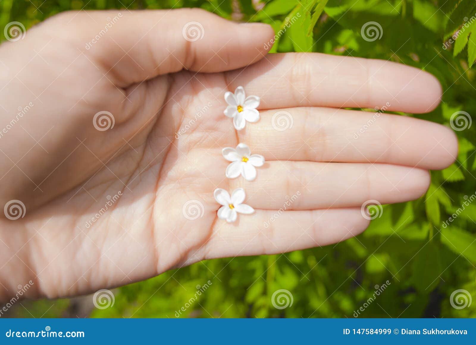 Lilac bloemen met vijf bloemblaadjes is een symbool van goed geluk