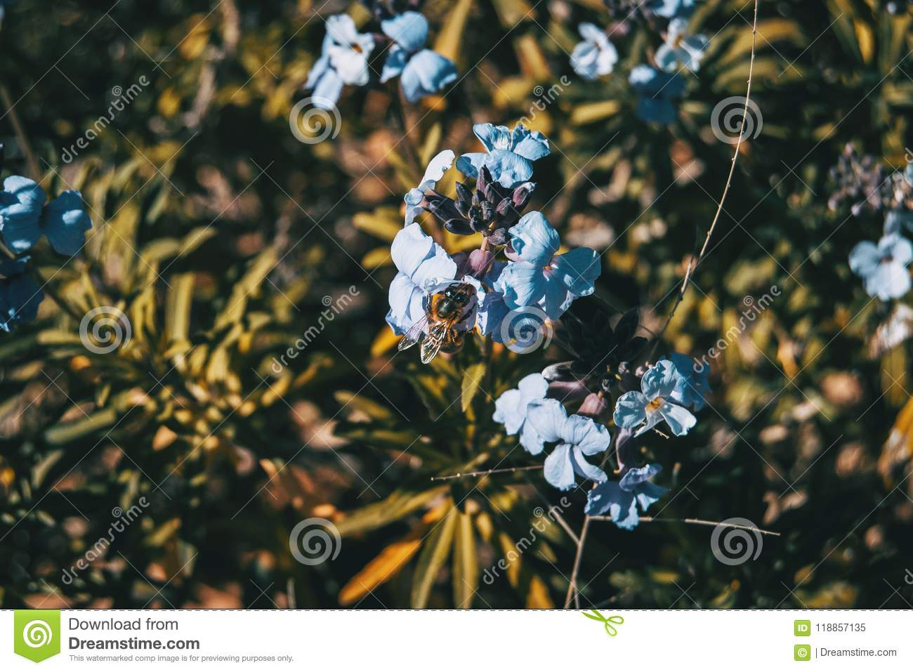 Lilac and blue flowers of bicolor erysimum in nature