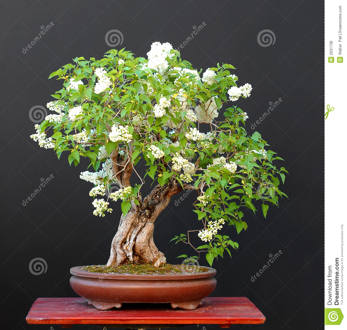 lilac bonsai in blom stock photo image of spring tree. Black Bedroom Furniture Sets. Home Design Ideas