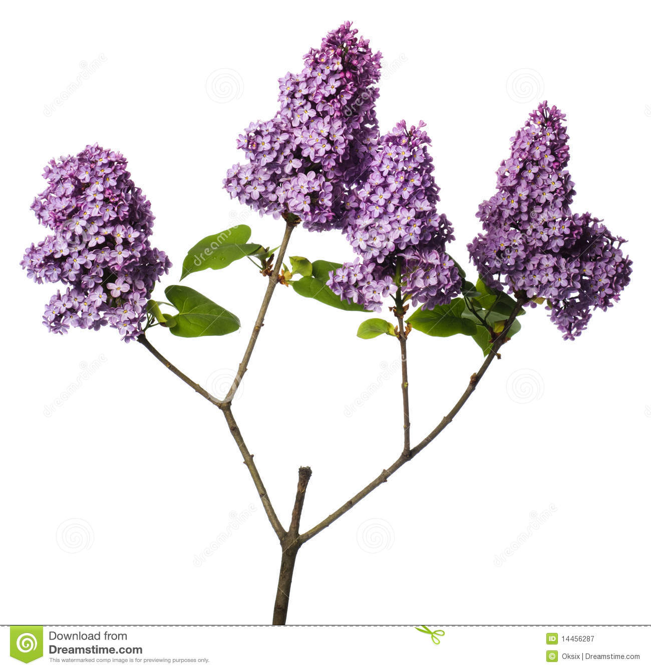 [Image: lilac-branch-isolated-white-14456287.jpg]