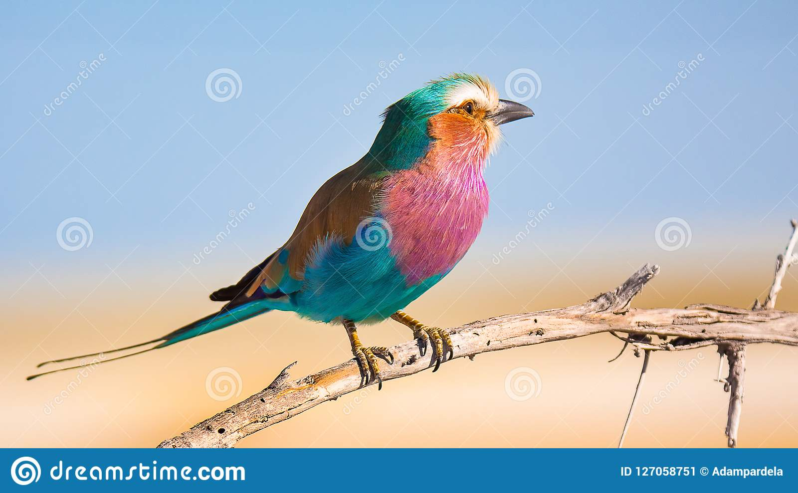Africa Bird - Lilac breasted roller colorful bird standing on the tree branch in Namibia
