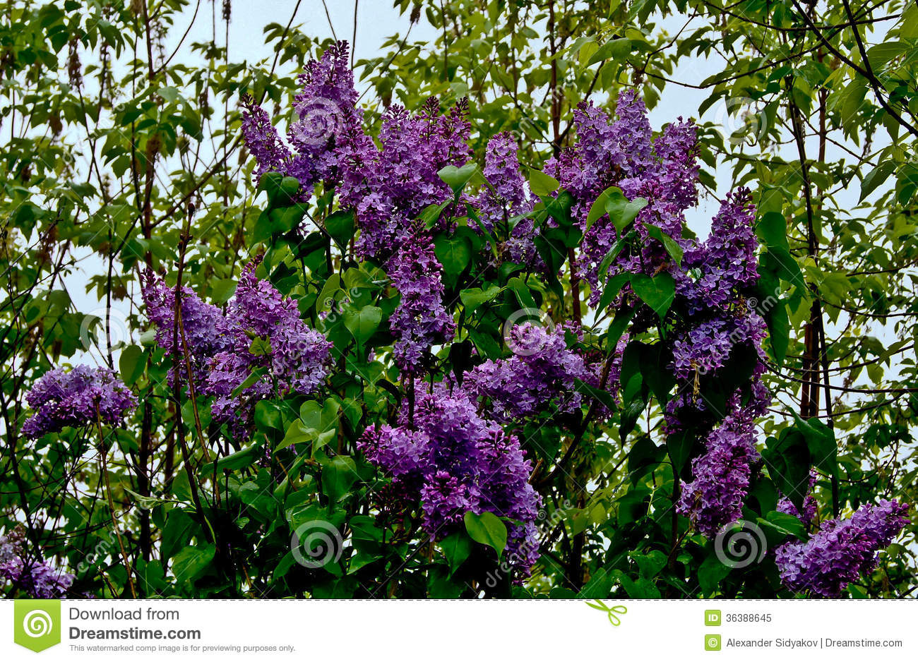 Lilac Bush In Bloom Royalty Free Stock Photo Image
