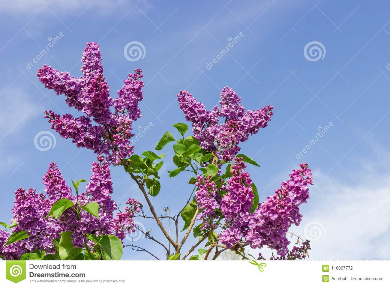 Lilac Bush With Purple Flowers Against Of The Sky Stock Photo