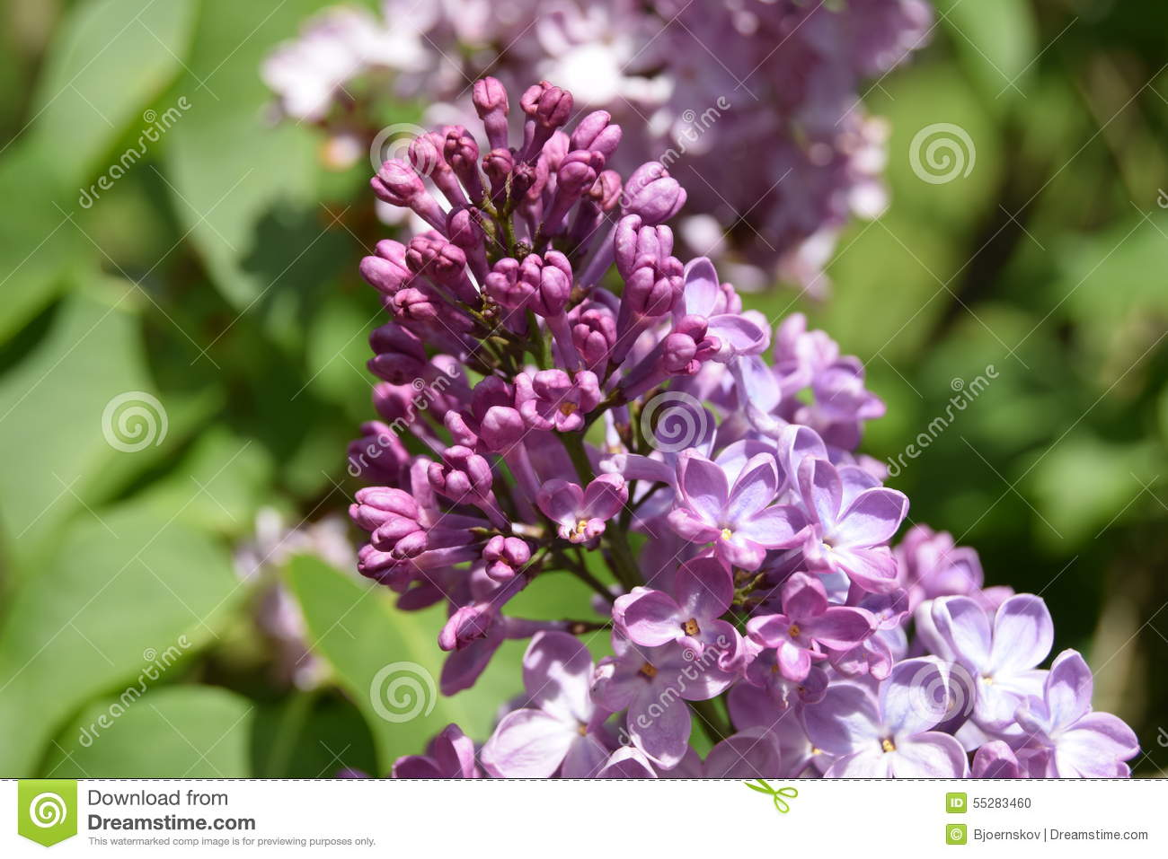 Lilac Stock Photo Image Of Summer Flower Tree Nature