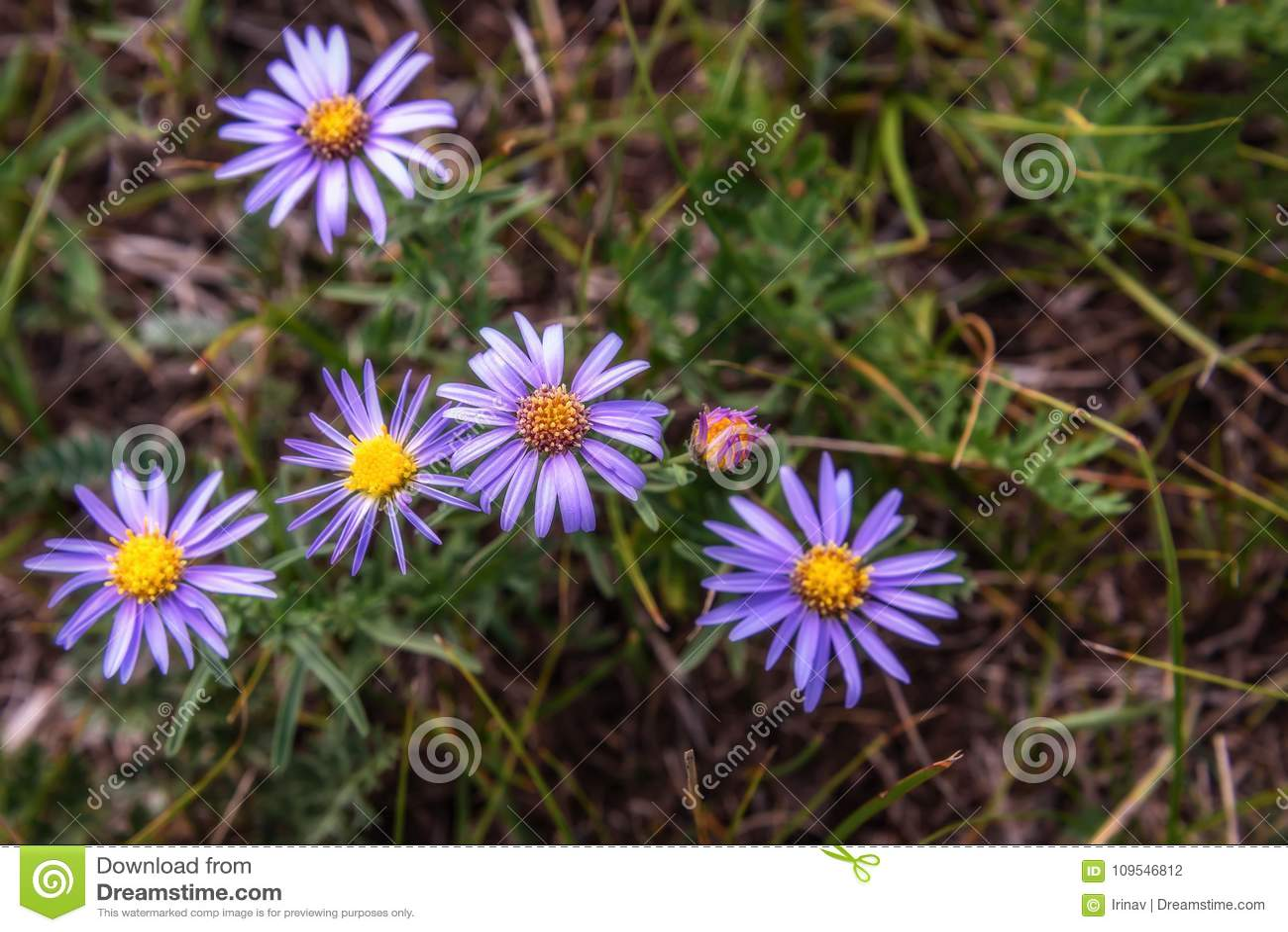 Lilac daisy flowers meadow background stock photo image of floral lilac daisy flowers meadow background izmirmasajfo Choice Image