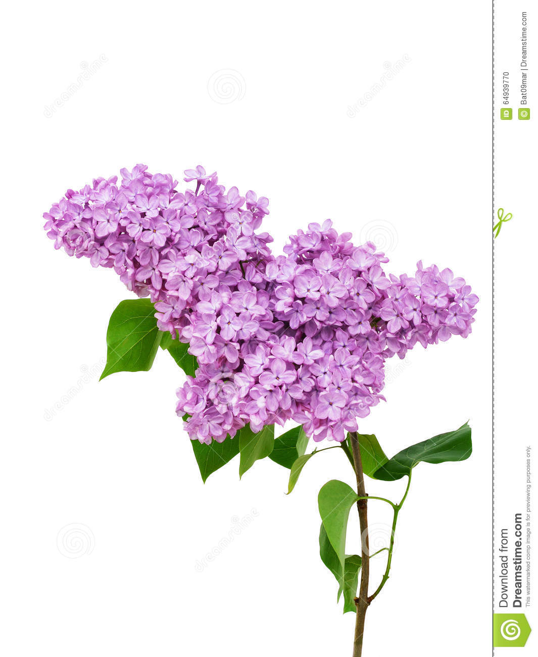 Lilac flower isolated on white background syringa - Dessin de lilas ...