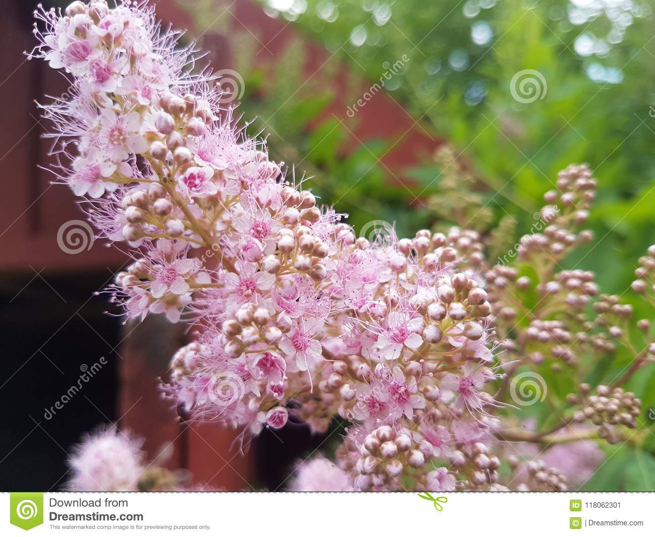 Lilac Flowers Blooming In Late Spring Stock Image Image Of