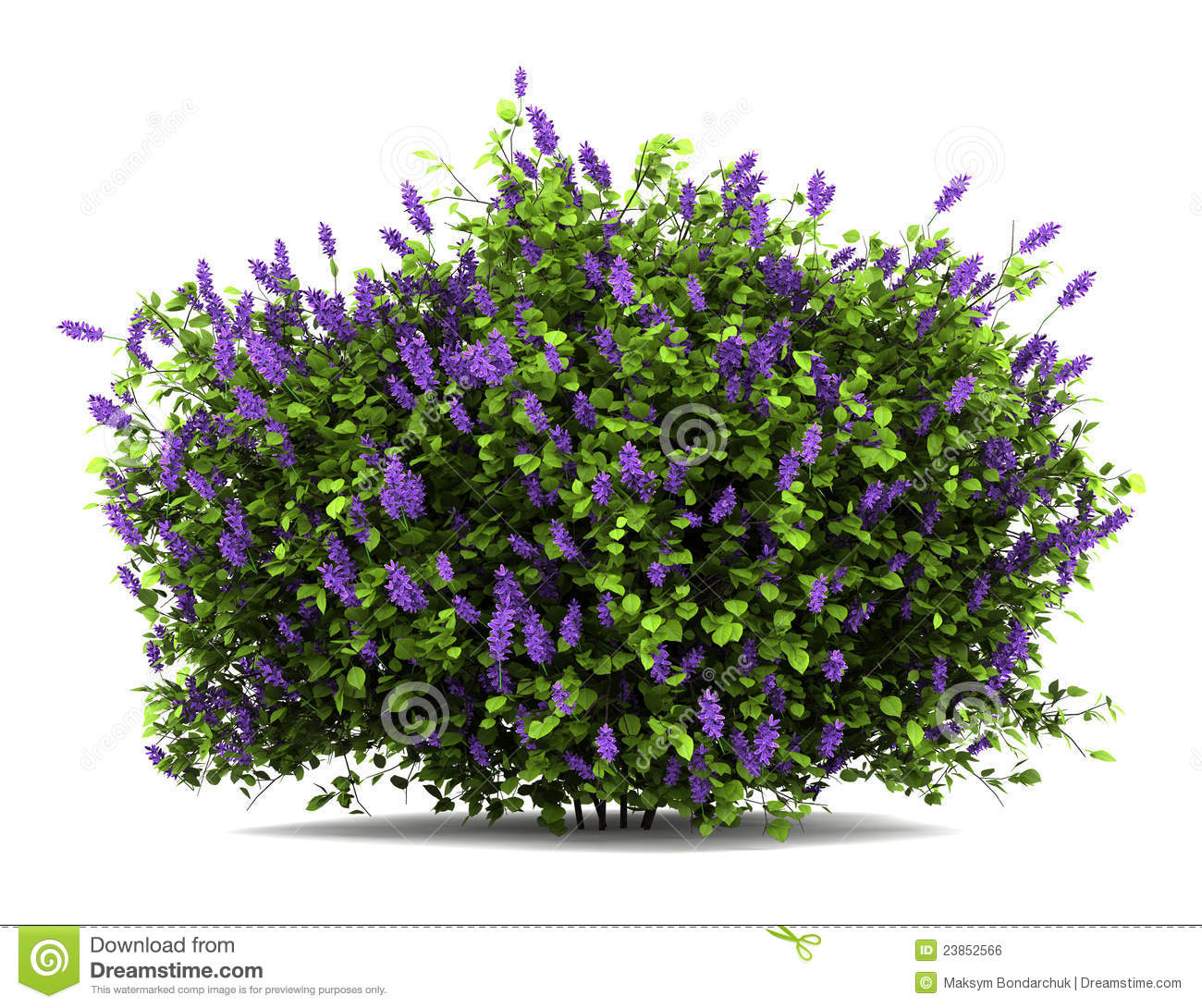 Lilac flowers bush isolated on white stock photo image - Arbusto pequeno con flores ...