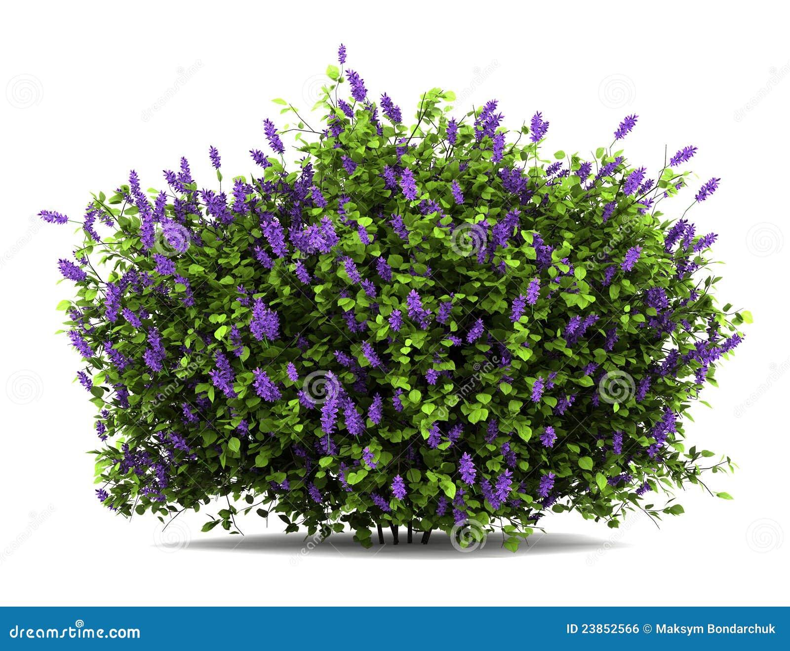 Lilac Flowers Bush Isolated On White Stock Photo Image