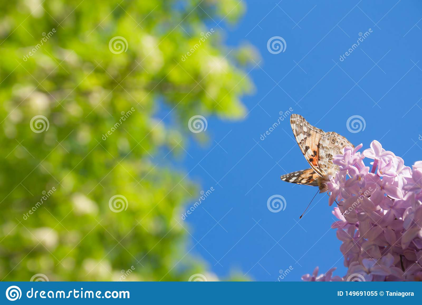 Lilac flowers in the green garden background in a sunny day with one orange butterfly Aglais urticae
