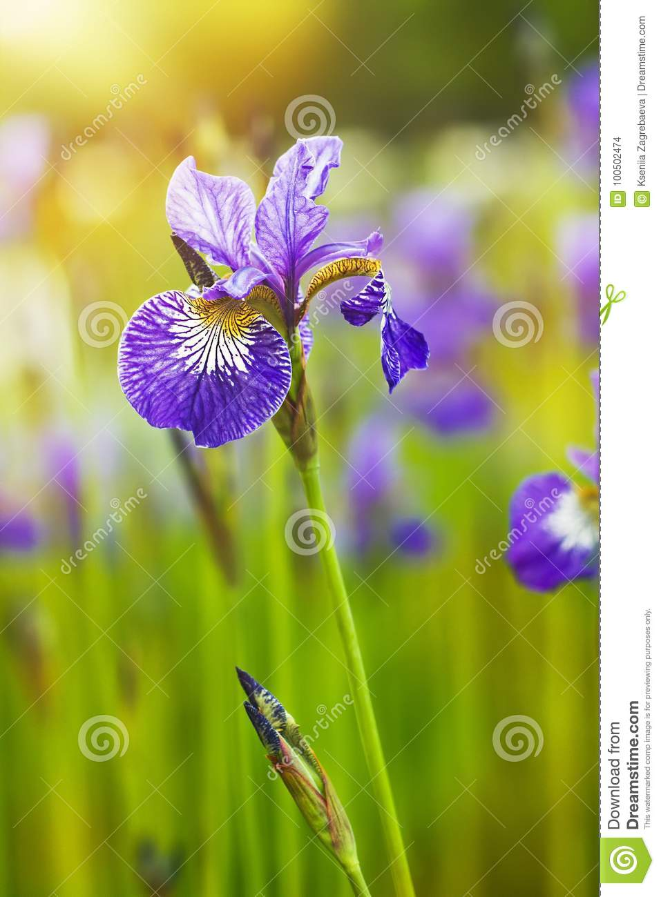 Lilac Flowers Irises Grow In The Garden Stock Photo Image Of Iris