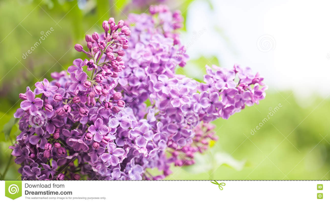 Shrubs with purple flowers at end of branch - Lilac Flowers Macro View Violet Flowers Branch Ornamental Blooming Shrub Copy Space