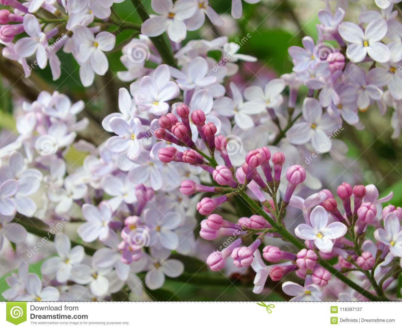 Lilac flowers stock photo stock image image of blue blossoming lilac flowers white flower background for spring pc desktop wallpaper mightylinksfo