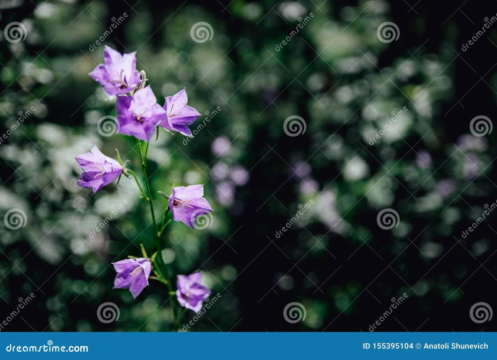 Lilac klokken bloeien in de de zomer bos Bosklokken op een Zonnige dag Blauwe bloemen in gras dichte omhooggaand