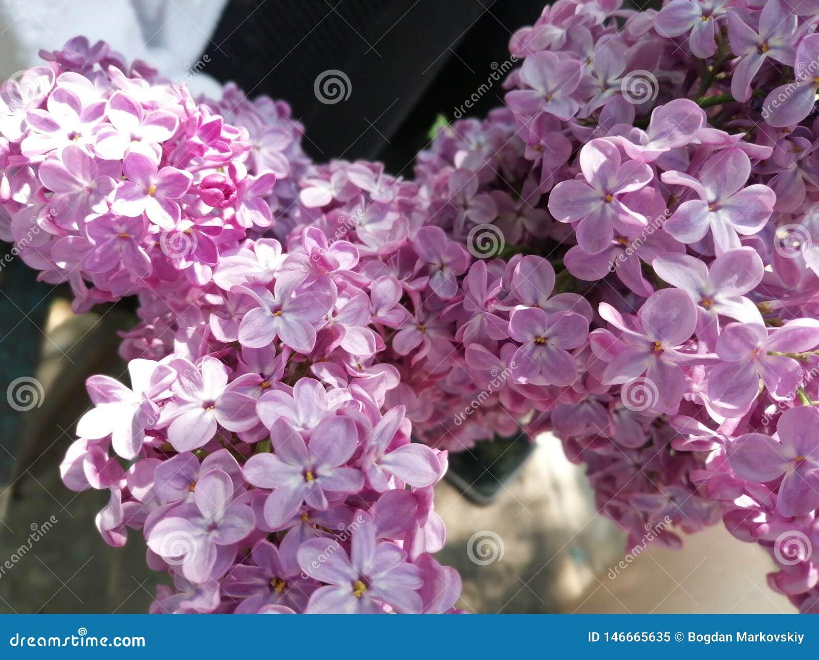 Lilac liefde